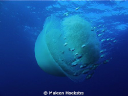 Jelly fish by Maleen Hoekstra